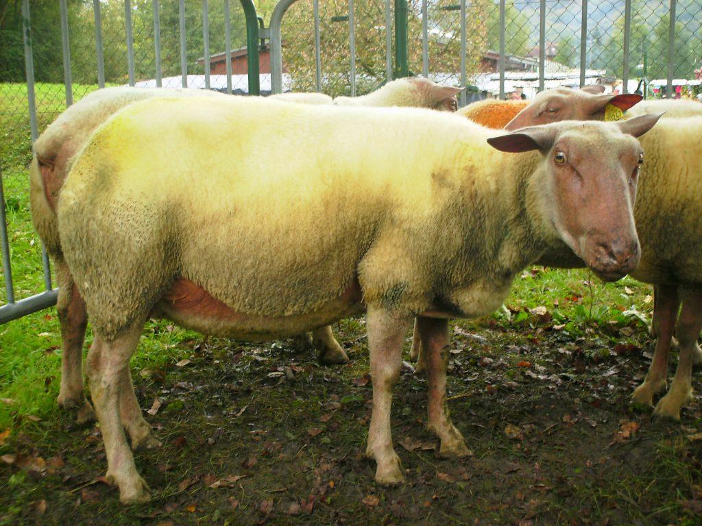 Rouge De L'ouest : La Race Ovine La Rouge De L'ouest - Les serapportantà Différence Entre Brebis Et Mouton