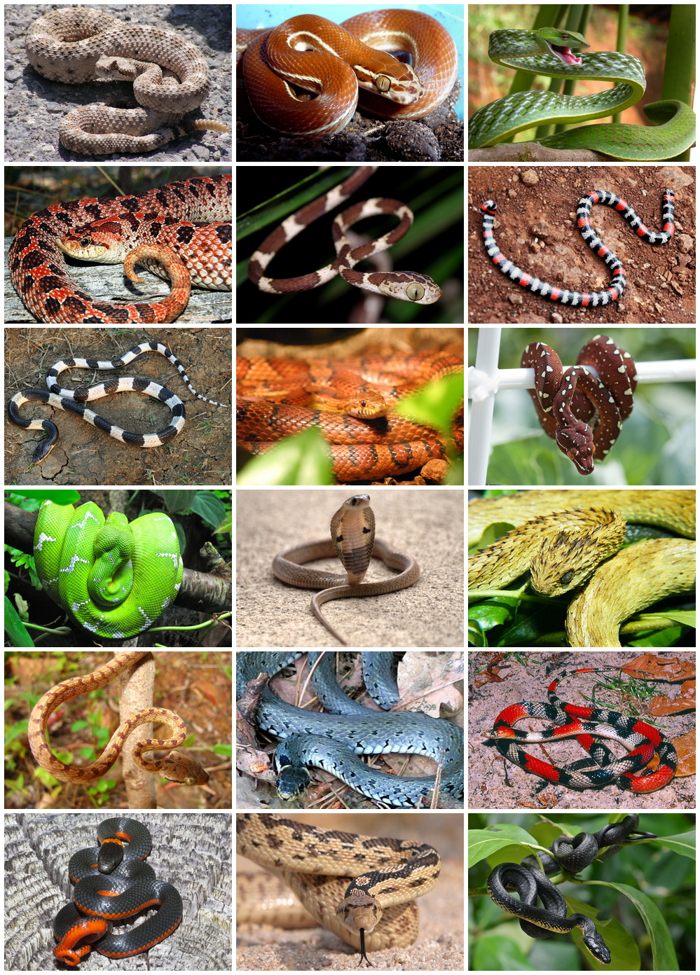 Serpentes — Wikipédia pour Animaux Ovipares Liste