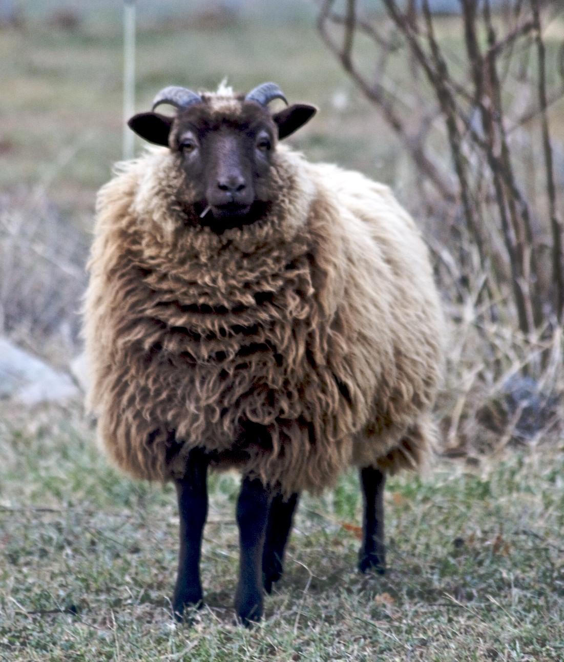 Shetland (Mouton) — Wikipédia intérieur Différence Entre Brebis Et Mouton