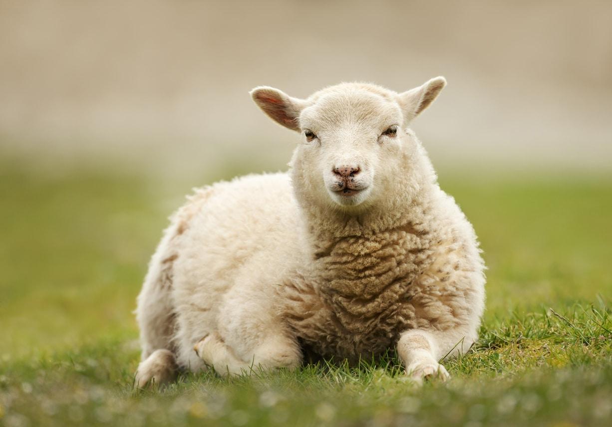 Si Vous Voyez Un Mouton Couché Sur Le Dos, Voici Comment pour Différence Entre Brebis Et Mouton