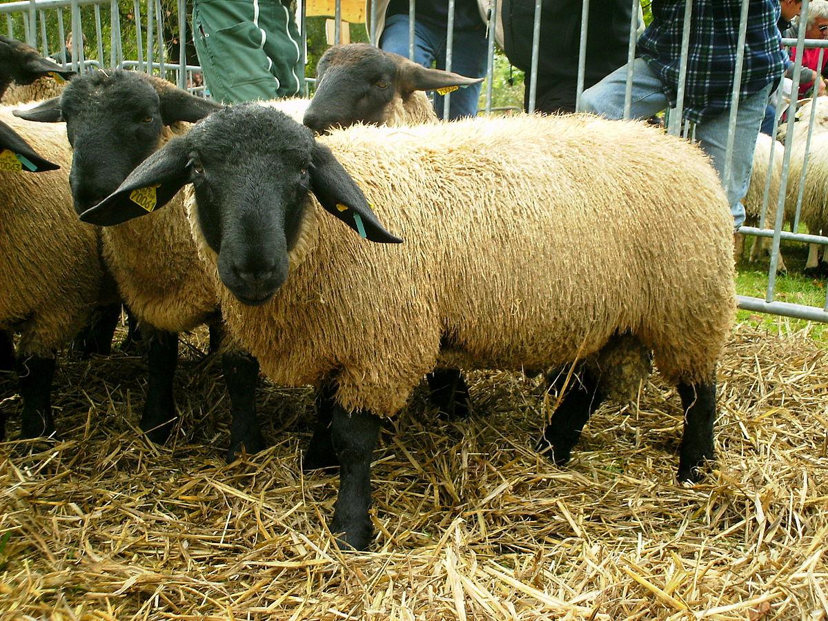 Suffolk (Race Ovine) — Wikipédia destiné Différence Entre Brebis Et Mouton