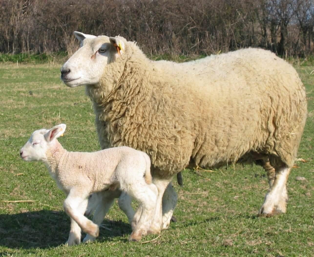 Synchronisation Des Chaleurs Chez La Brebis De La Race encequiconcerne Différence Entre Brebis Et Mouton