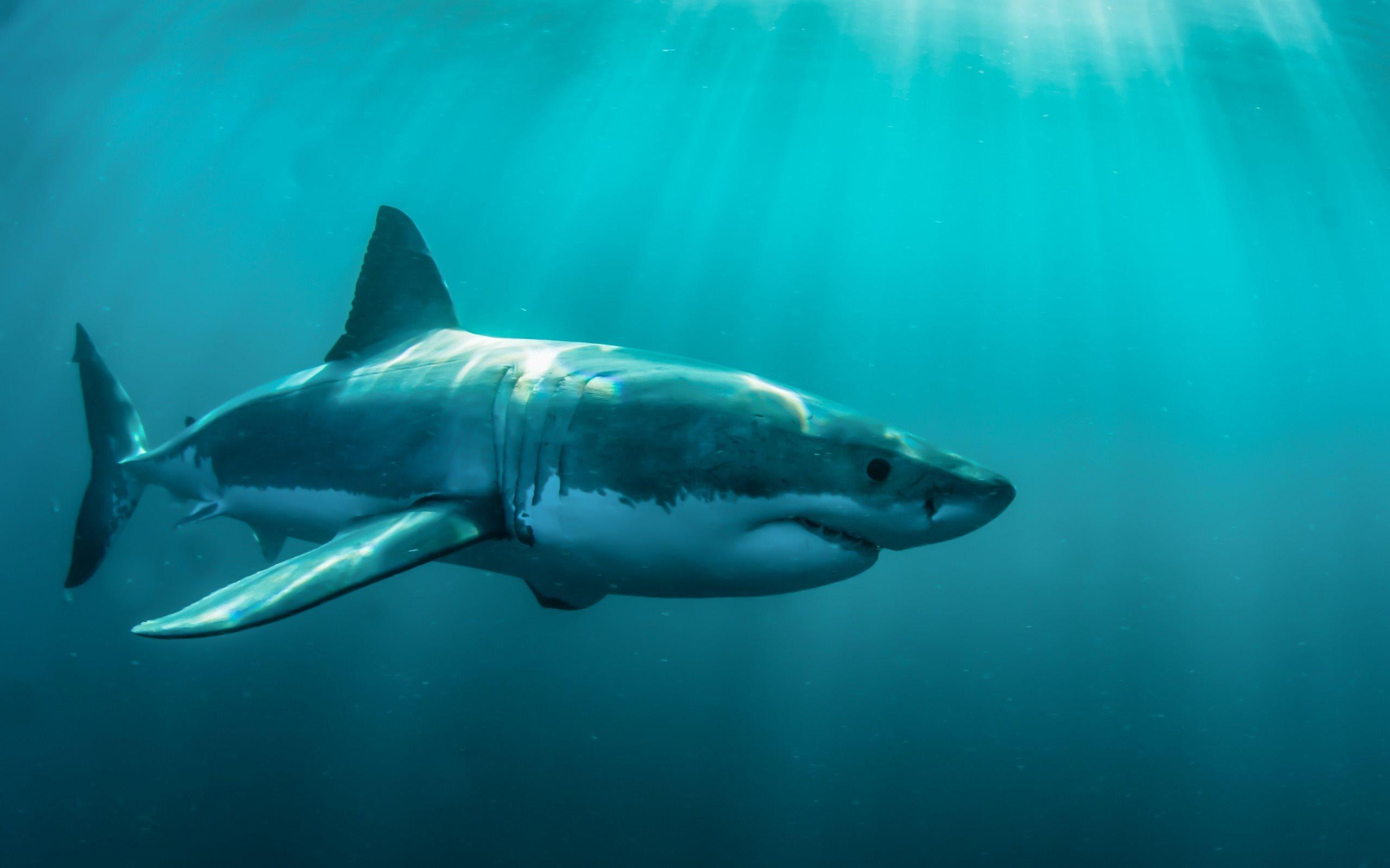 Télécharger Fonds D'écran Les Prédateurs, Les Requins, Le dedans Requin Souris