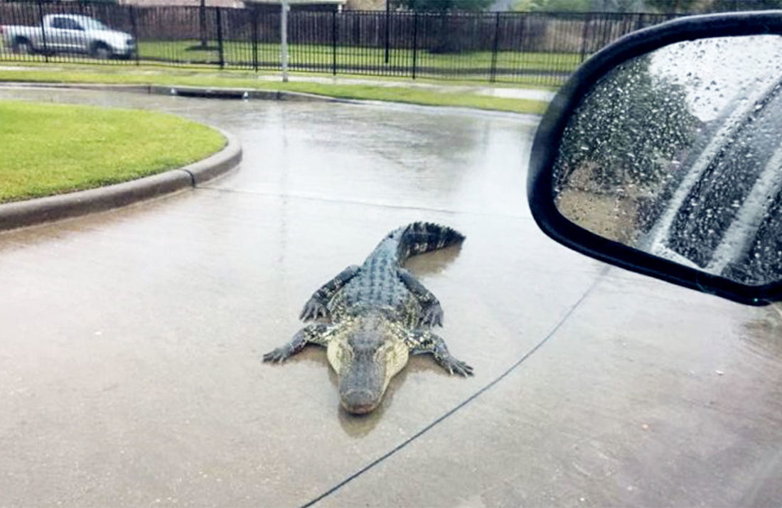 Texas : Face À L'ouragan Harvey, Des Alligators Viennent intérieur Mots Gator