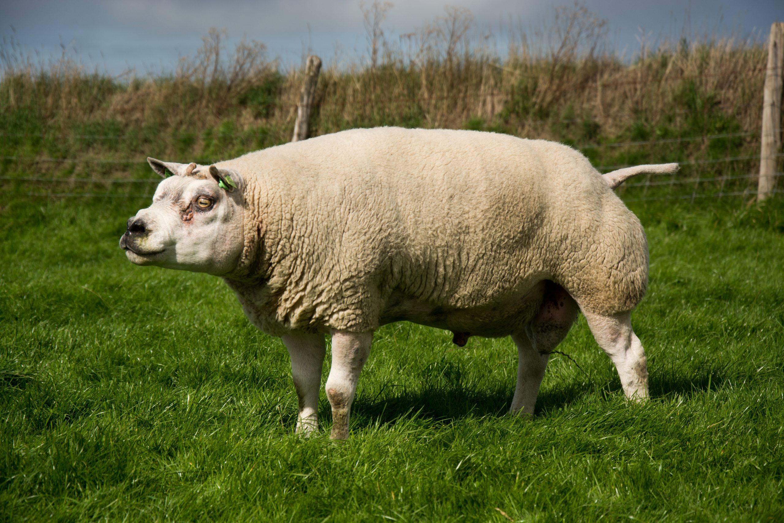 Texel (Race Ovine) — Wikipédia dedans Différence Entre Brebis Et Mouton