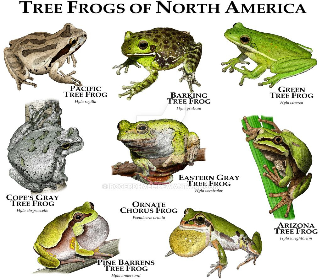 Tree Frogs Of North America By Rogerdhall On Deviantart tout Animaux Ovipares Liste