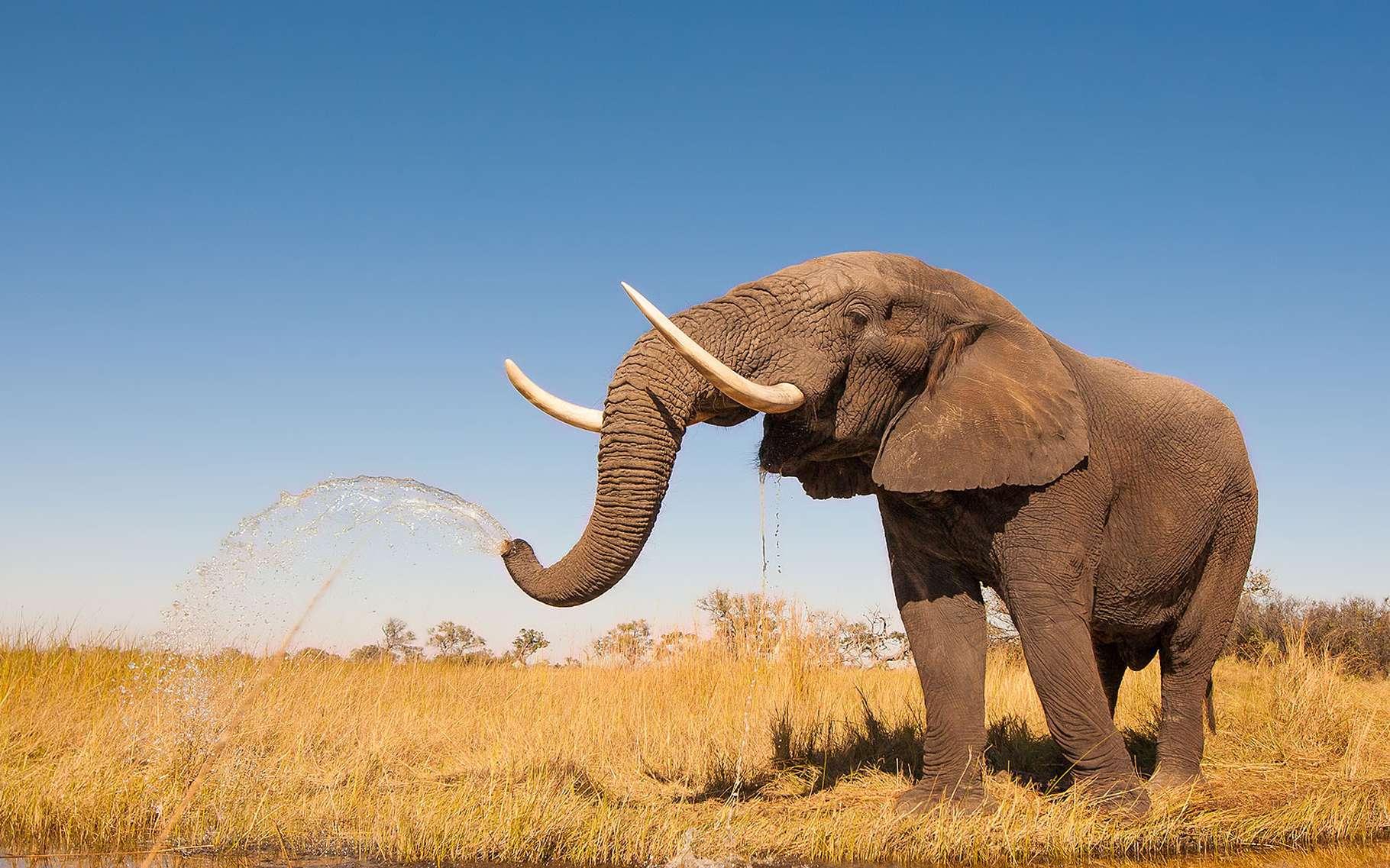 Trompe De L'éléphant : Un Éléphant, Ça Trompe Énormément dedans Barrissement Elephant