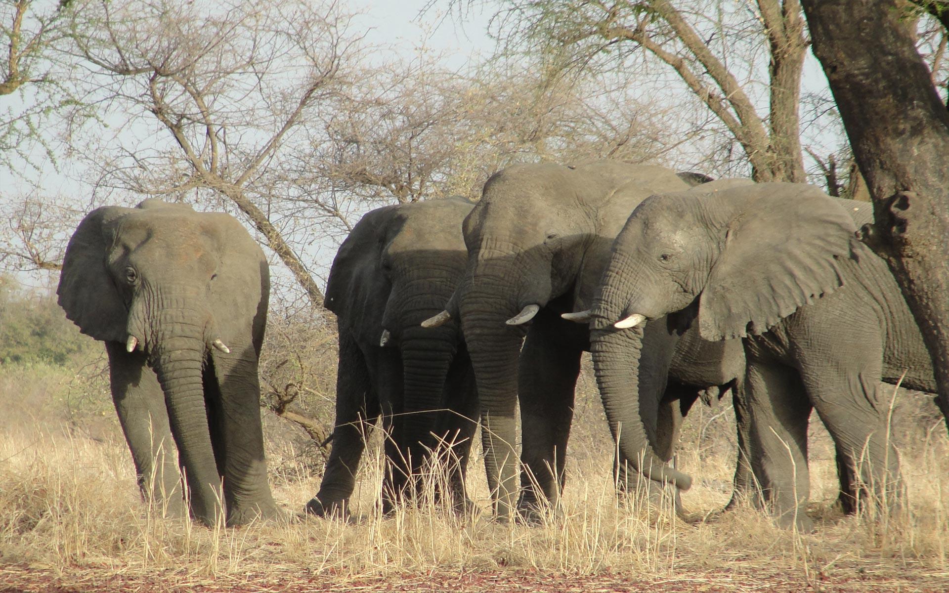 Uicn - Eléphants De Savane : Écologie, Importance Et Menaces intérieur Femelle De L Éléphant Nom