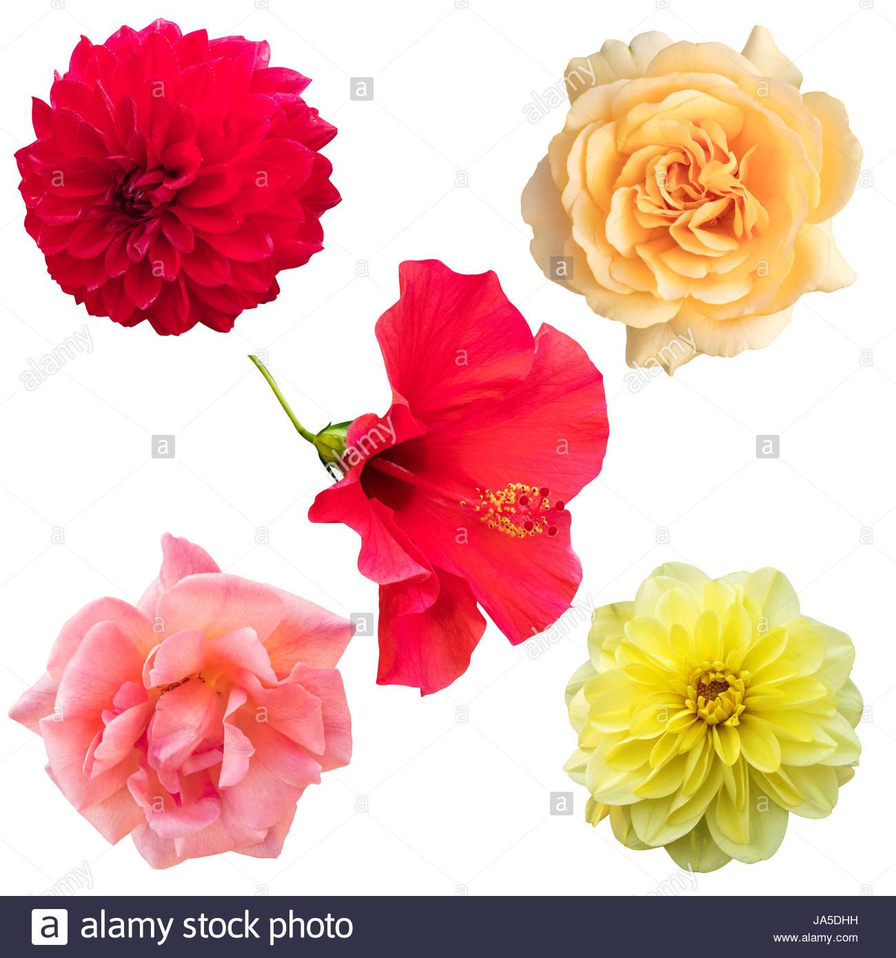 Un Ensemble De Fleurs Isolées. Photos De Découpe, Dahlias dedans Fleurs À Découper