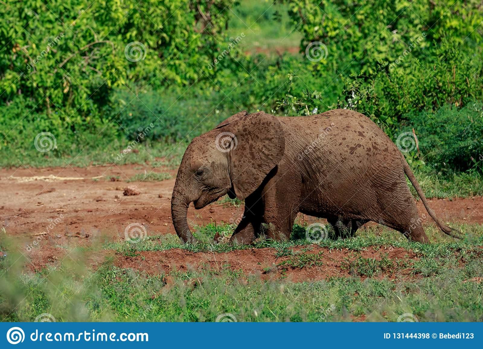 Un Jeune Éléphant De Bush D'africain Ayant Un Bain De Boue dedans Femelle De L Éléphant Nom