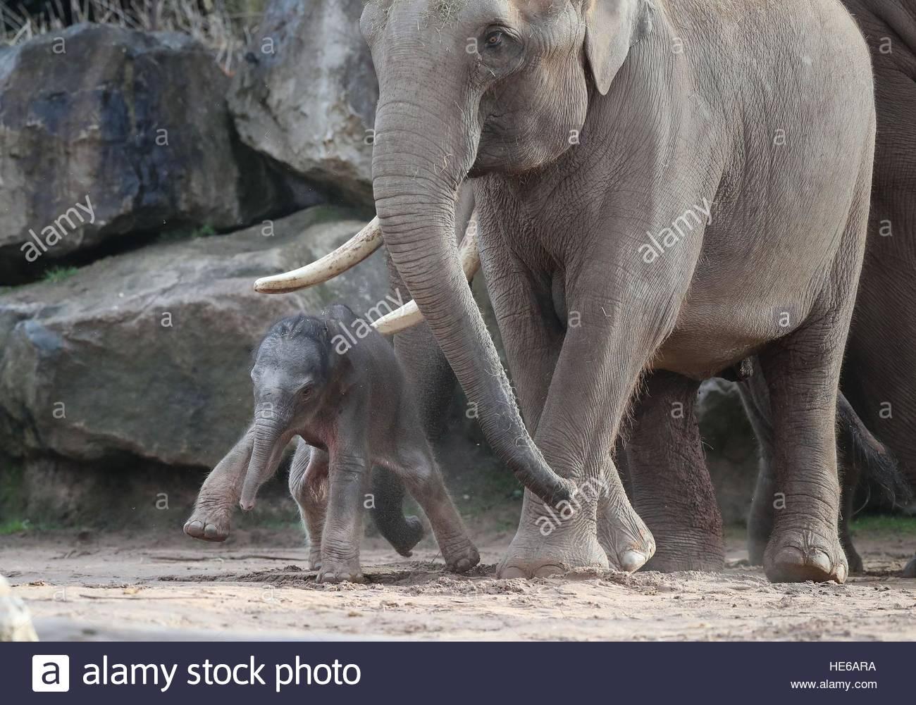 Une Femelle Éléphant D'asie, Comme Des Veaux, Encore Sans intérieur Femelle De L Éléphant Nom