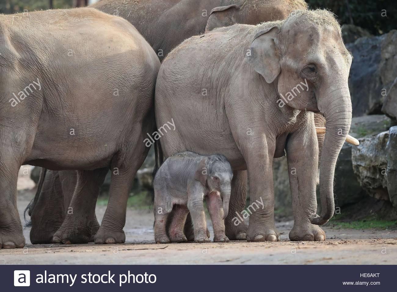 Une Femelle Éléphant D'asie, Comme Des Veaux, Encore Sans tout Femelle De L Éléphant Nom