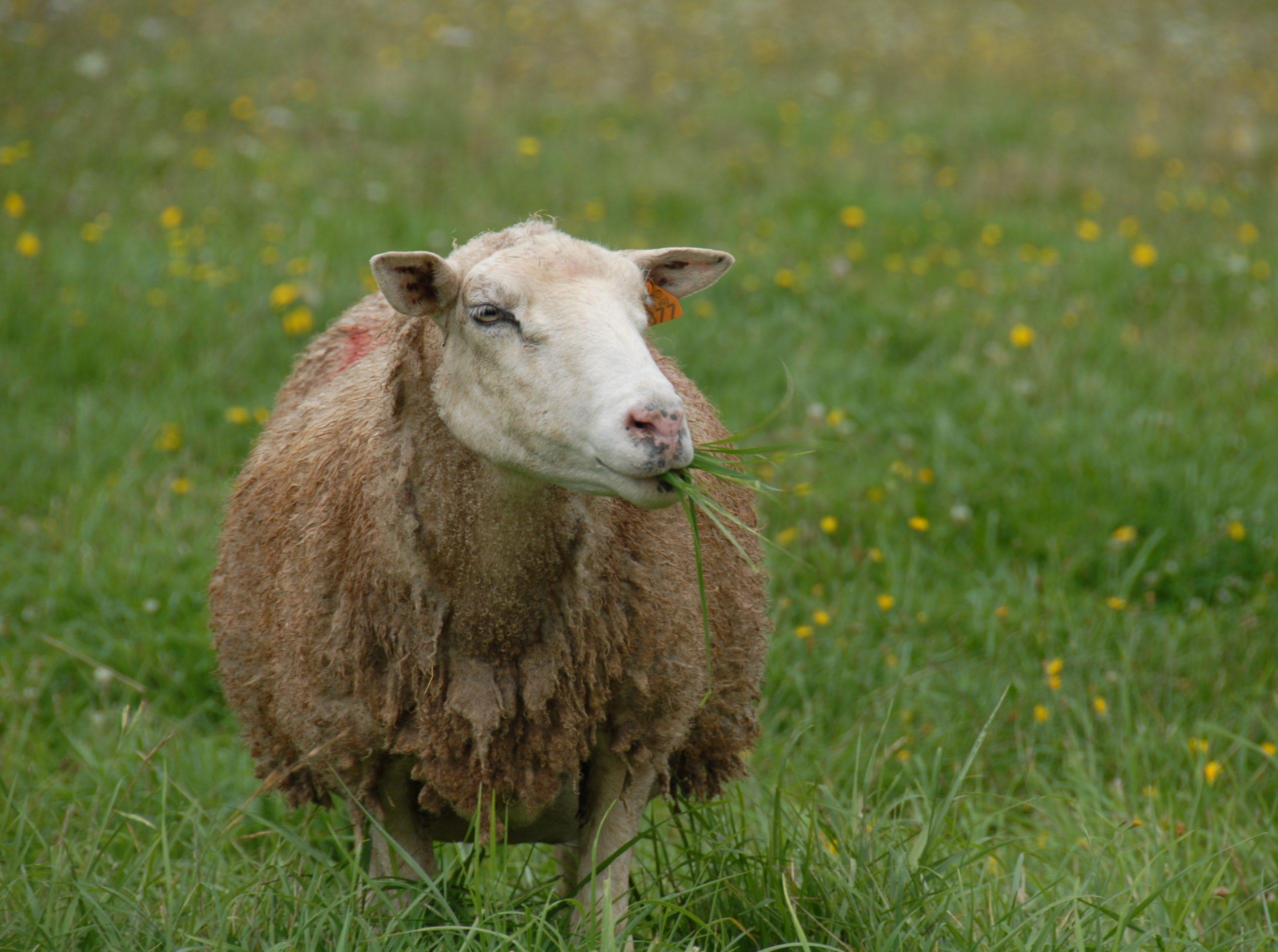Une Prévention Sanitaire De Tous Les Instants   Réussir dedans Différence Entre Brebis Et Mouton