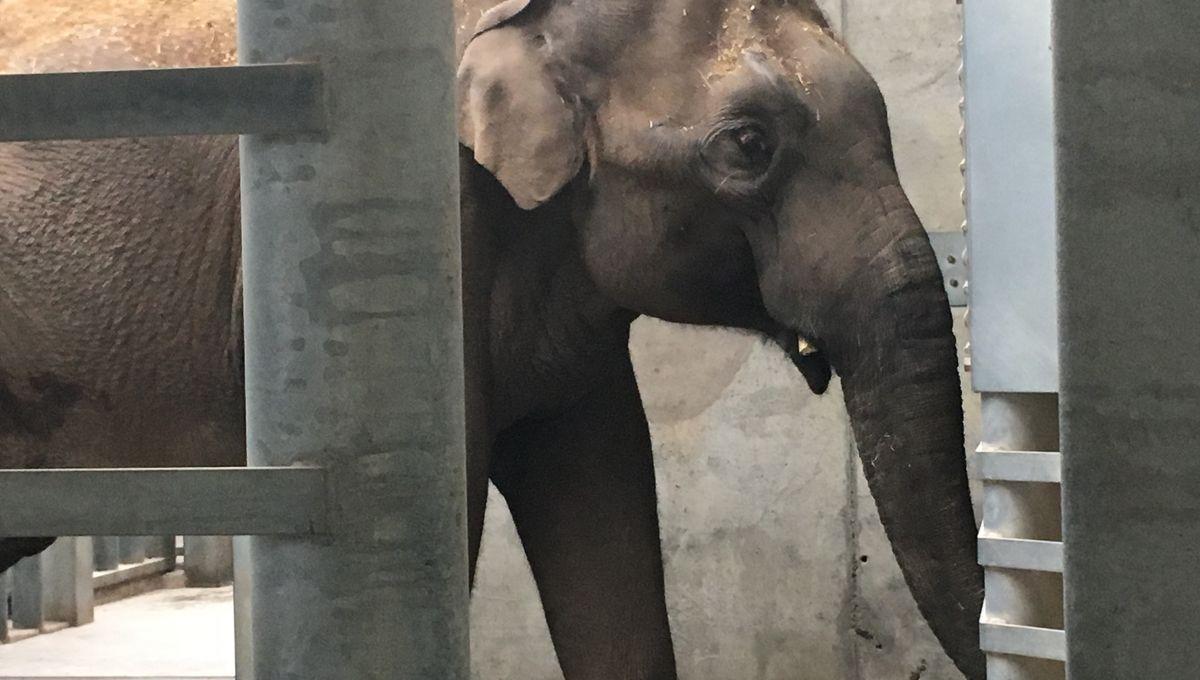 Vidéos - Upali, Éléphant D'asie, Débarque Au Pal Dans L'allier destiné Femelle De L Éléphant Nom
