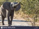 Young Elephant Trumpeting Stock Photo: 135555734 - Alamy intérieur Barrissement Elephant
